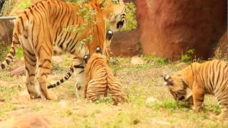 Royal Bengal Tiger Cubs in S V Zoo Park .Tirupati part 3 video