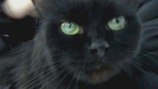 Кот крысолов(Сat ratcatcher)