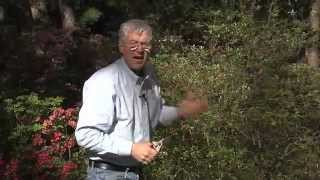 Walter Reeves - When And How To Prune Azaleas