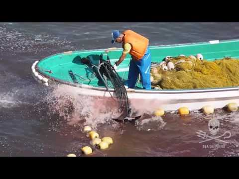 Striped Dolphins Murdered in The Cove