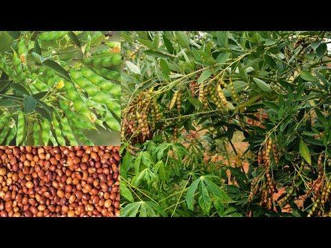 Red gram cultivation||Kandhi panta || Red gram Farming in India