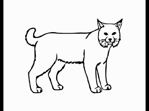 How To Draw Bobcat Full Body Pencil Drawing Step By Step