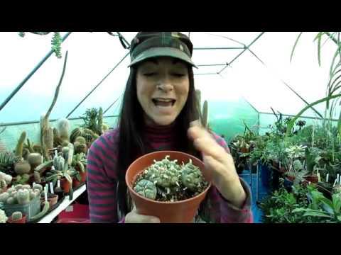 Re potting my Lophophora williamsii Cacti Plants
