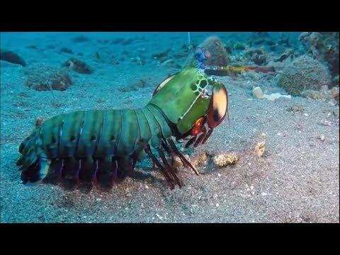 Peacock Mantis Shrimp Shows Off Awe-inspiring Colors