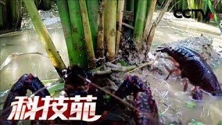 《科技苑》 20180322 小龙虾住稻田 | CCTV农业