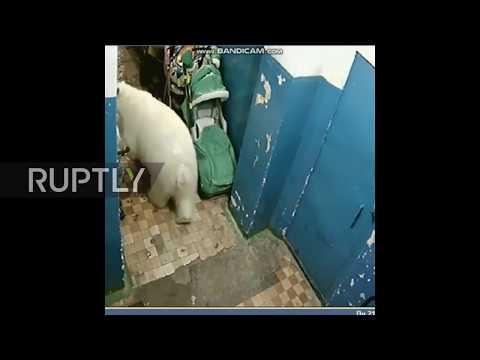 Russia: Novaya Zemlya town overrun by polar bears