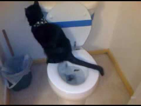 My toilet trained American Bombay cat!
