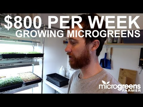 How to produce $800 worth of microgreens in one week on one rack