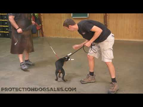 "Powerhouse Doberman Puppy ""Gemini"" 10 Wks Early Drive Development Personal Protection For Sale"