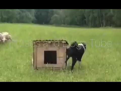 alabai-at-farm-on-duty