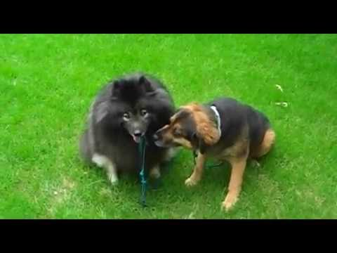 Lonely Dog Walks a Dog - Cute Fluffy Dog Tricks, Clancy Keeshond