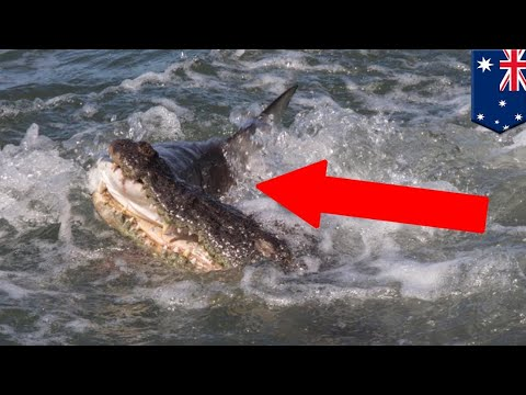 Croc vs. shark: Clever crocodile captured on camera snapping up smaller shark - TomoNews