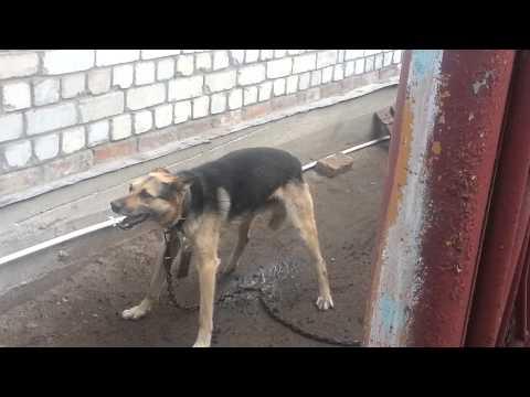 У собаки приступ. Судороги