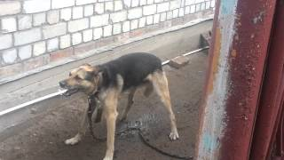 У собаки приступ. Судороги(Собаке около 9 лет. Кобель. Барсик. Питается стабильно. Живет в будке. Охраняет дом. Последние 3 года у Барсика..., 2014-07-06T13:19:02.000Z)