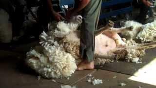 Esquilando ovejas en Uruguay ----- Sheep shearing in Uruguay ---