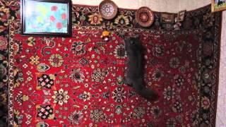 Кот, бегающий по стенам