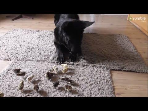 Gentle German Shepherd welcomes newborn quail chicks