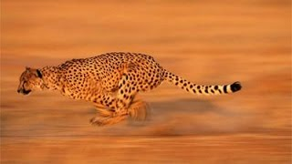 Báo đốm Gêpa - Kẻ săn mồi máu lạnh || Thuyết minh