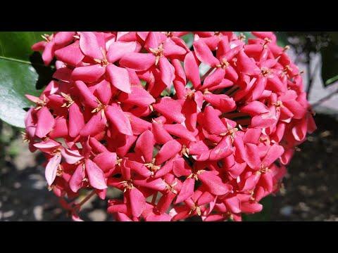 Ixora Plant (रूकमिणी पौधा) की देखभाल ....How to care Ixora plant