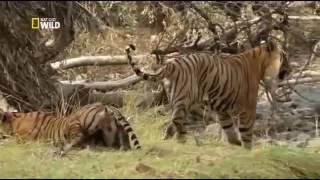 Мир животных Дикие хищники  Месть тигра   Документальный фильм National Geographic