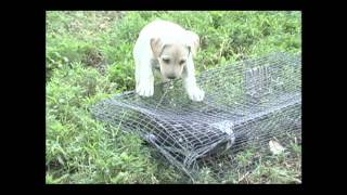 Pointing Lab Pup Training - Intro To Upland Birds