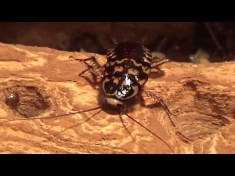 Harlequin Cockroach (Neostylopyga rhombifolia) Prague Zoo תיקן הליצן