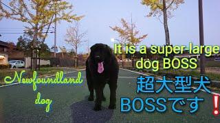 ボス君とのんびりまったりお散歩に行ってきました   まだまだBOSS君には...