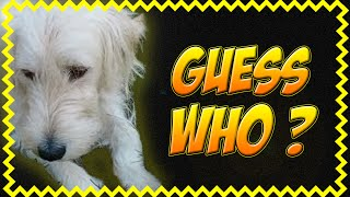 Golden Retriever Poodle Dog Mix Ally! Funny Animal Videos, Funny Animals. Compilation No.65 2014