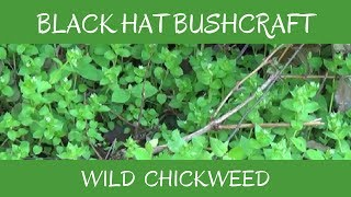 Chickweed: Wild Edible & Medicinal Plant