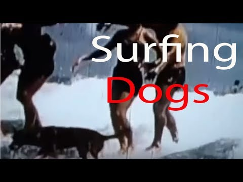 Surfing Dogs - Funny dogs