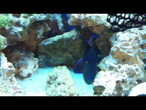 Niger Trigger Fish - Medium