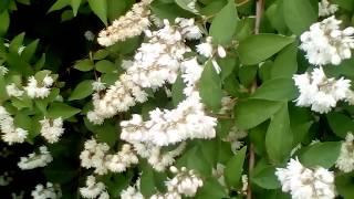 видео Дейция шершавая (ф. розеа-плена)