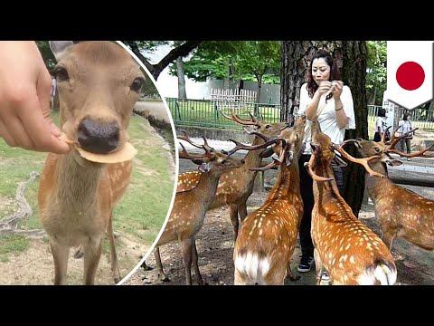 Nara deer: sacred deer wandering Japan to be captured for encroaching on farm territory - TomoNews