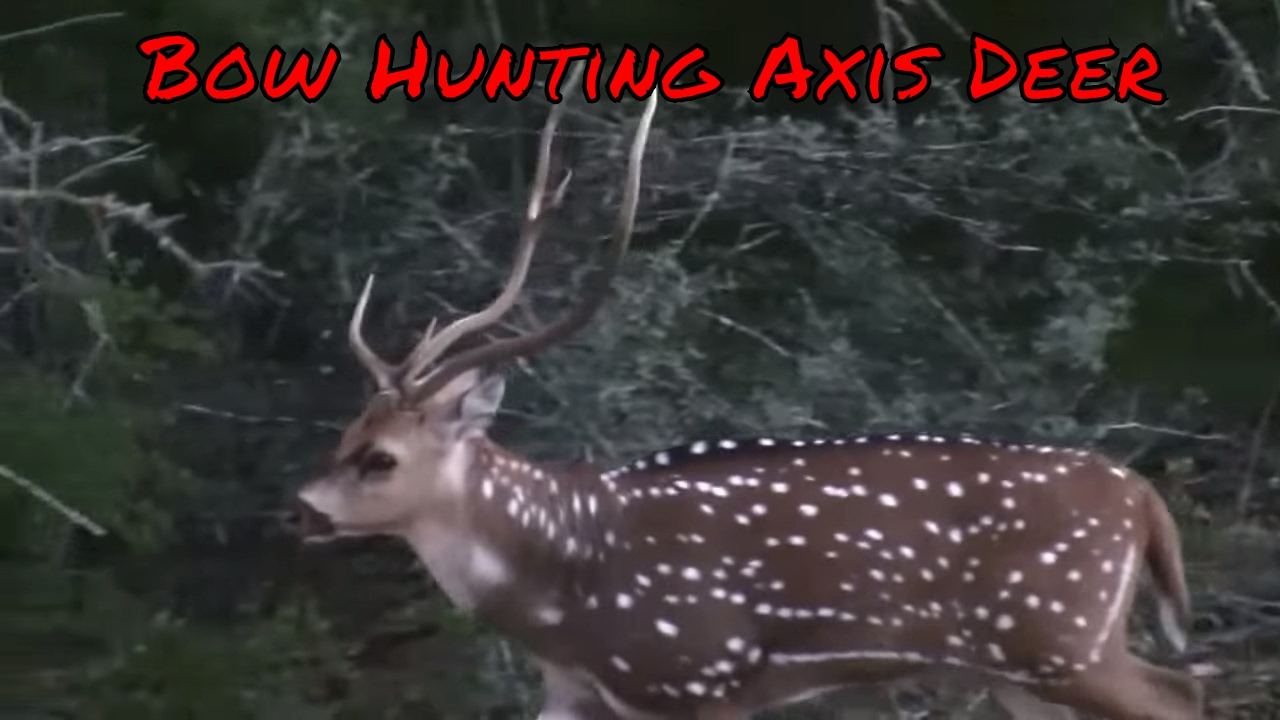 Bow Hunting Axis Deer South Texas Exotic Hunt Youtube