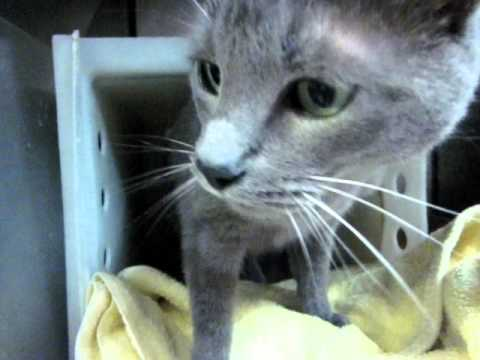 STONEY is a small neutered male, Russian blue love bug w/ green eyes!