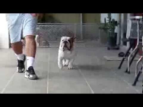 Big Papi Bulldogs - Bigpapibull Sir Francis Bacon - 18 meses