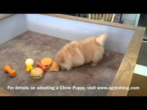 www.agreatdog.com presents a Chow Chow puppy goofing around