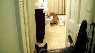Cattle Dog Potty Training