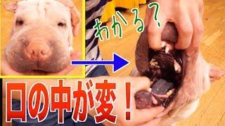 食べ物が出ちゃう謎が解き明かされました…。 【犬用チョコをあげてみた...