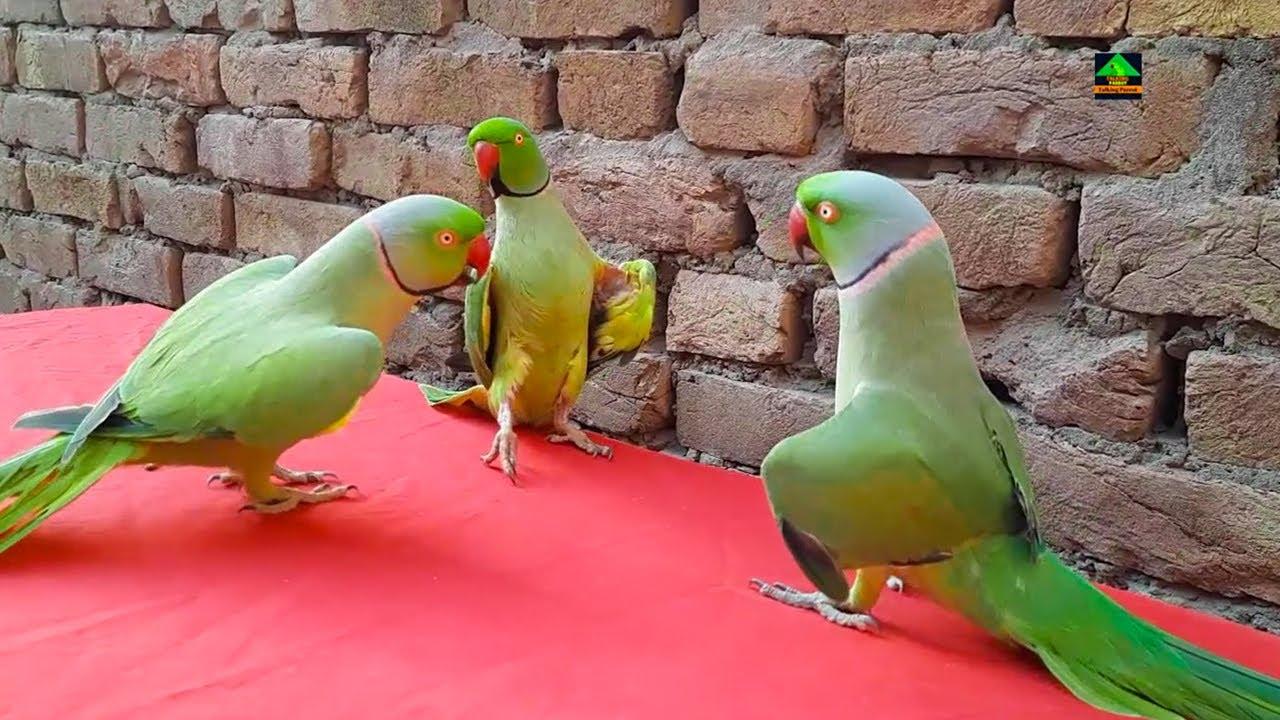 My Three Super Handsome Ringneck Talking Parrots | Dancing And Speaking In Urdu Hindi So Cute Video