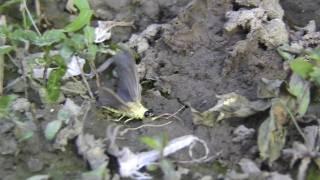 Tisa flower-life and dead(cvetanje Tise 2009)
