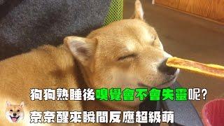 【柴犬Nana(奈奈)】狗狗熟睡後嗅覺會不會失靈呢?奈奈醒來瞬間反應超級萌