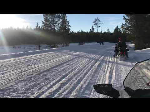 Snowmobiling bison attack at Yellowstone