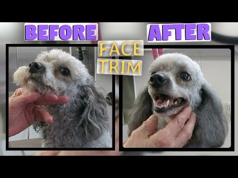 How to trim a round poodle face VERY CUTE - CLEAN FACE - MUSTACHE TIPS