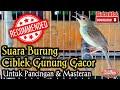 Burung Ciblek Gunung Gacor Untuk Pancingan  Mp3 - Mp4 Download