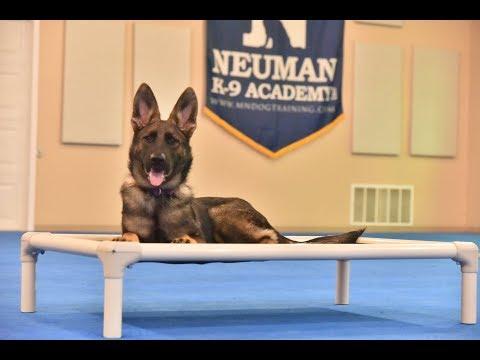 Stella (German Shepherd Dog) Puppy Camp Dog Training Video Demonstration