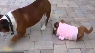 Funny French Bulldog Puppy Cant Get Up