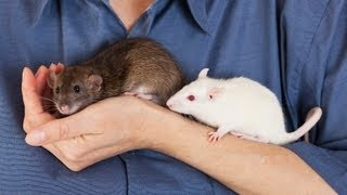 How to Travel with a Rat | Pet Rats