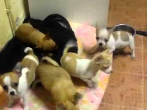 Cuccioli Chihuahua - Cuccioli che giocano