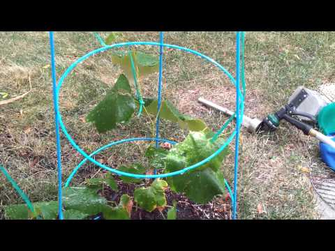How To Grow Vines From Grocery Store